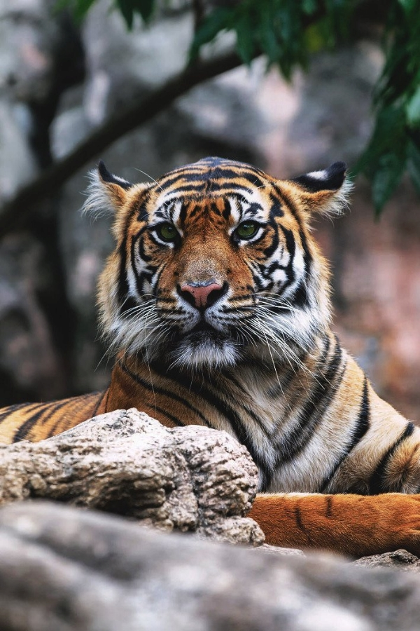 tiger15,