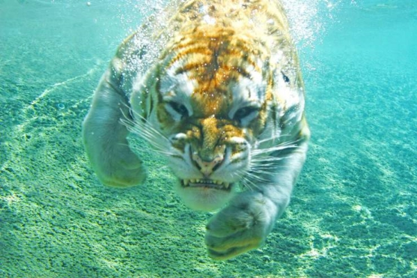 tiger3,