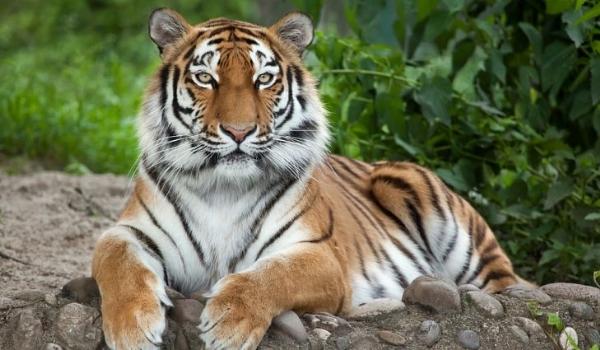 tiger6,