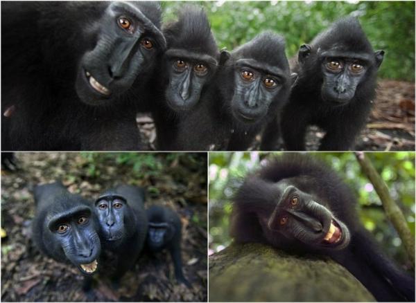 f-Macaques,
