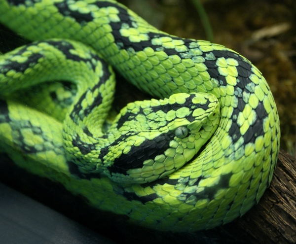 491-YellowBlotchedPalmPitViper,