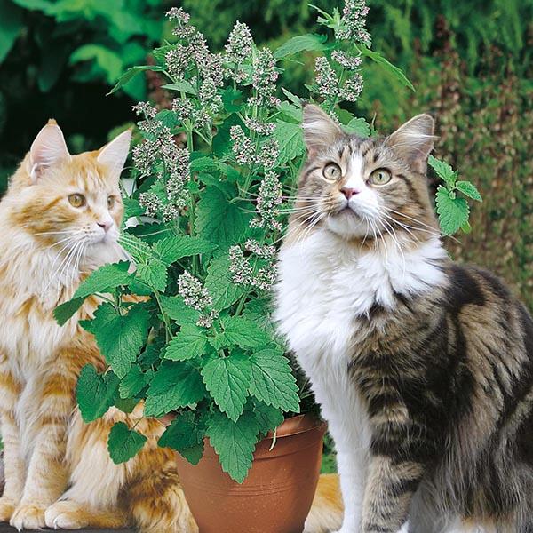 Catnip1,