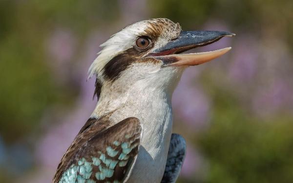 Kookaburra,