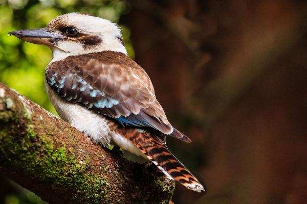 Kookaburra2,